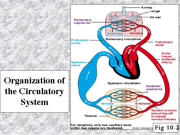 Organization Of The Circulatory System