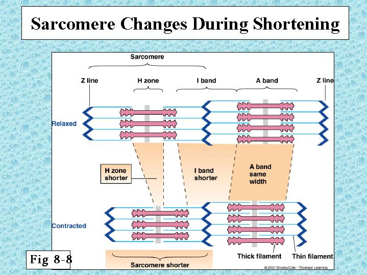 WELCOME TO THE WORLD OF 3D ANIMATION: Sarcomere Shortening