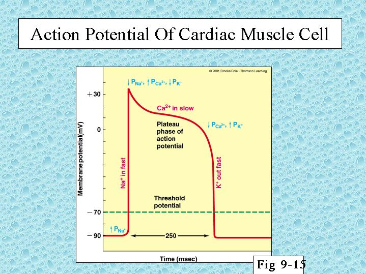 Action Potential Of Cardiac Muscle Cell
