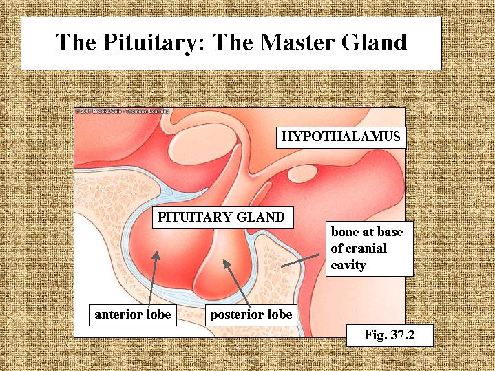10782963 additionally Sld004 further 6029428 likewise Disease Of Adrenal Gland moreover Anatomy Of The Adrenal Gland 57106934. on pituitary gland slide